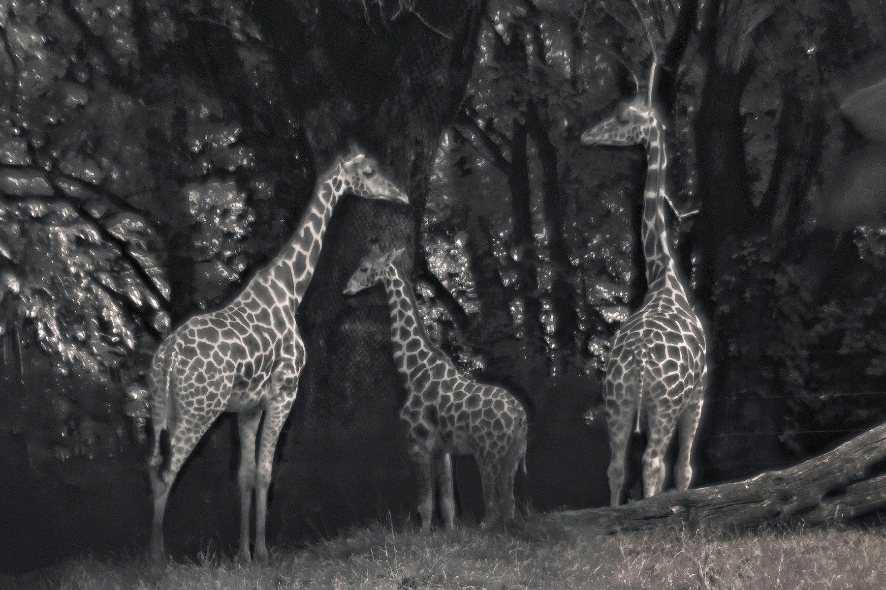 1three_giraffes_shhi_viv_sh_sz_copy