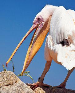 1LB_Pelican.jpg