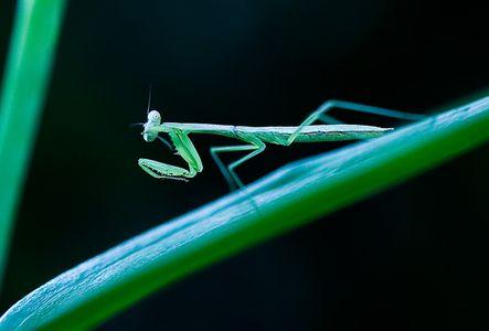 1LB_Mantis.jpg
