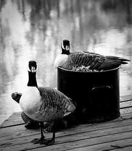 1LB_Geese.jpg
