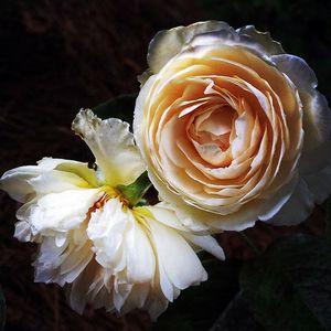 1jansen_rose_ballerina_lb.jpg