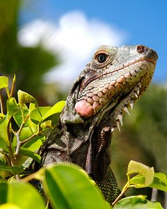 1LB_Iguana.jpg