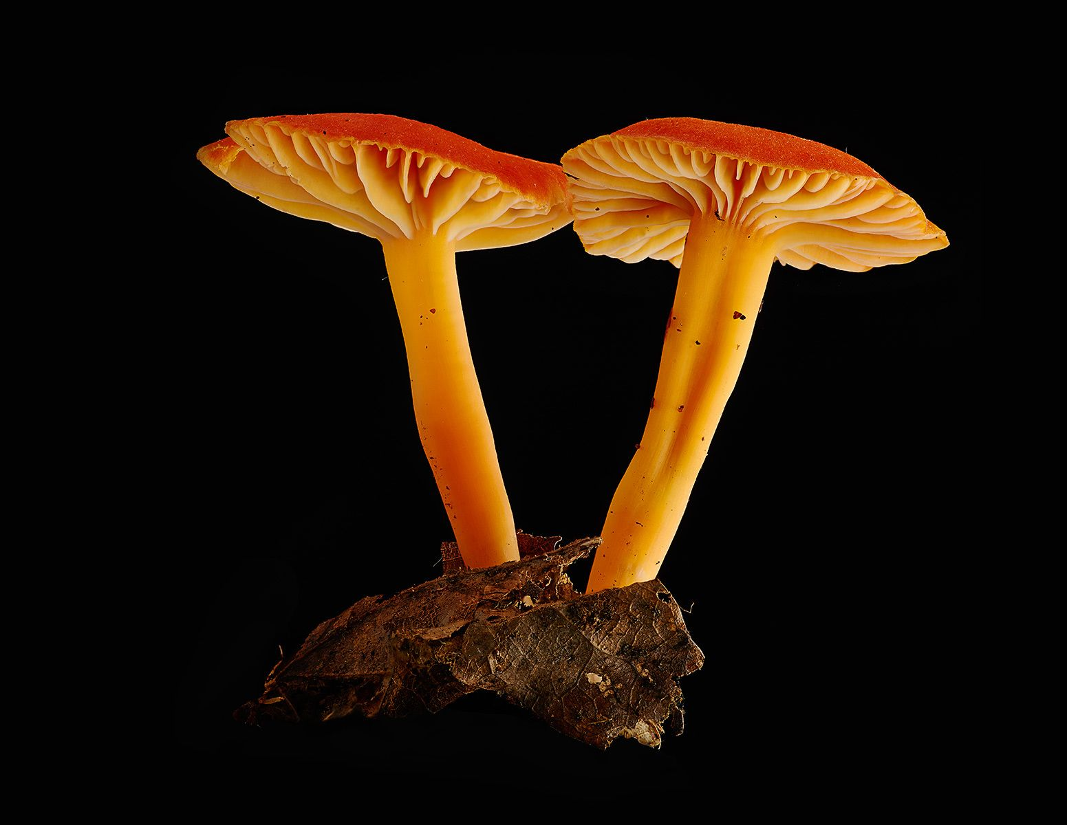 1twoorangemushrooms