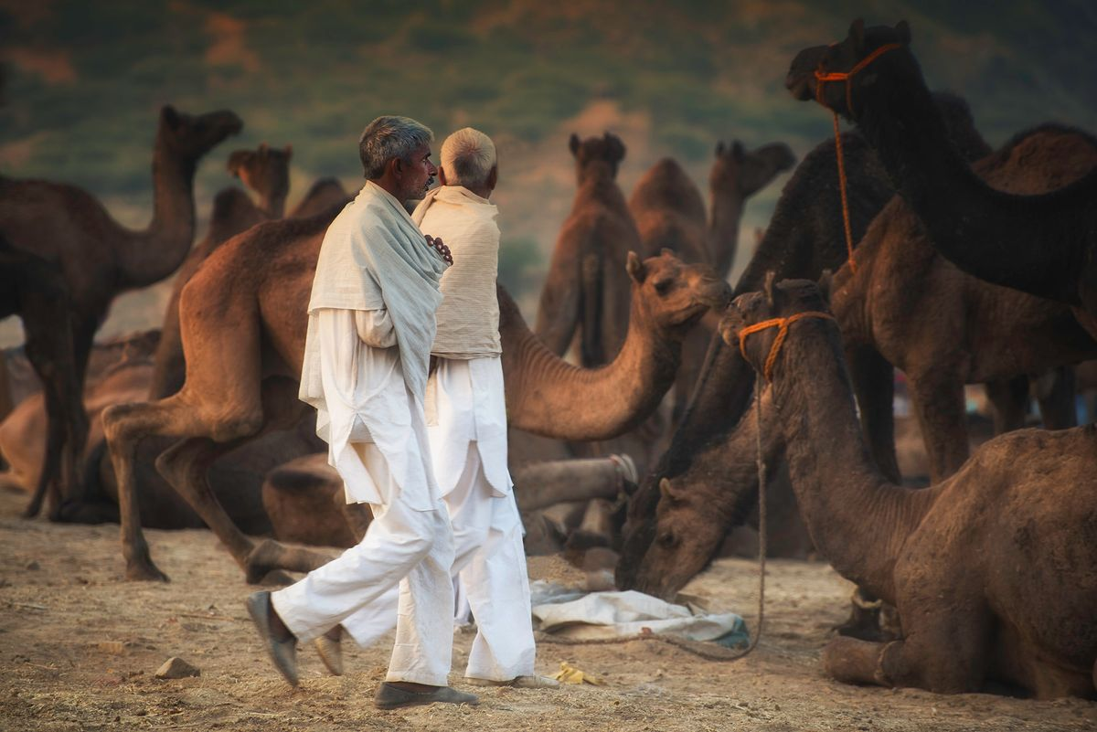 Camel traders or buyers