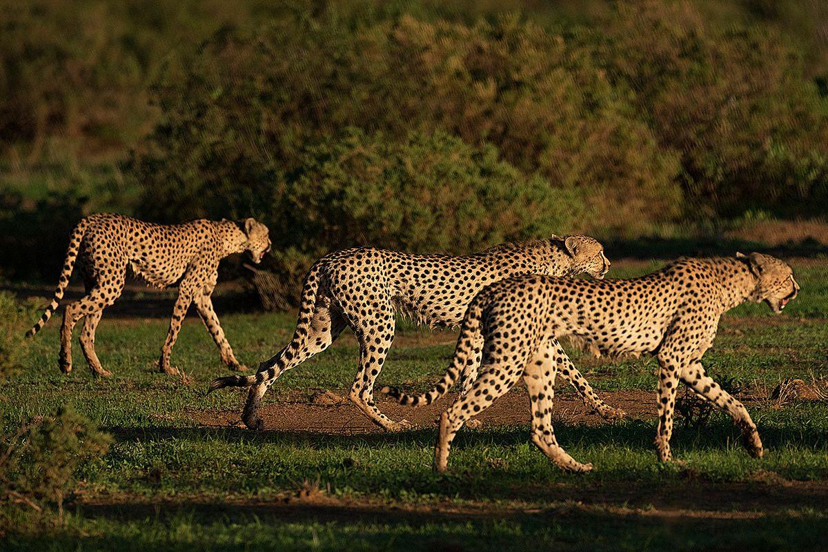 Cheetahs walking togerher
