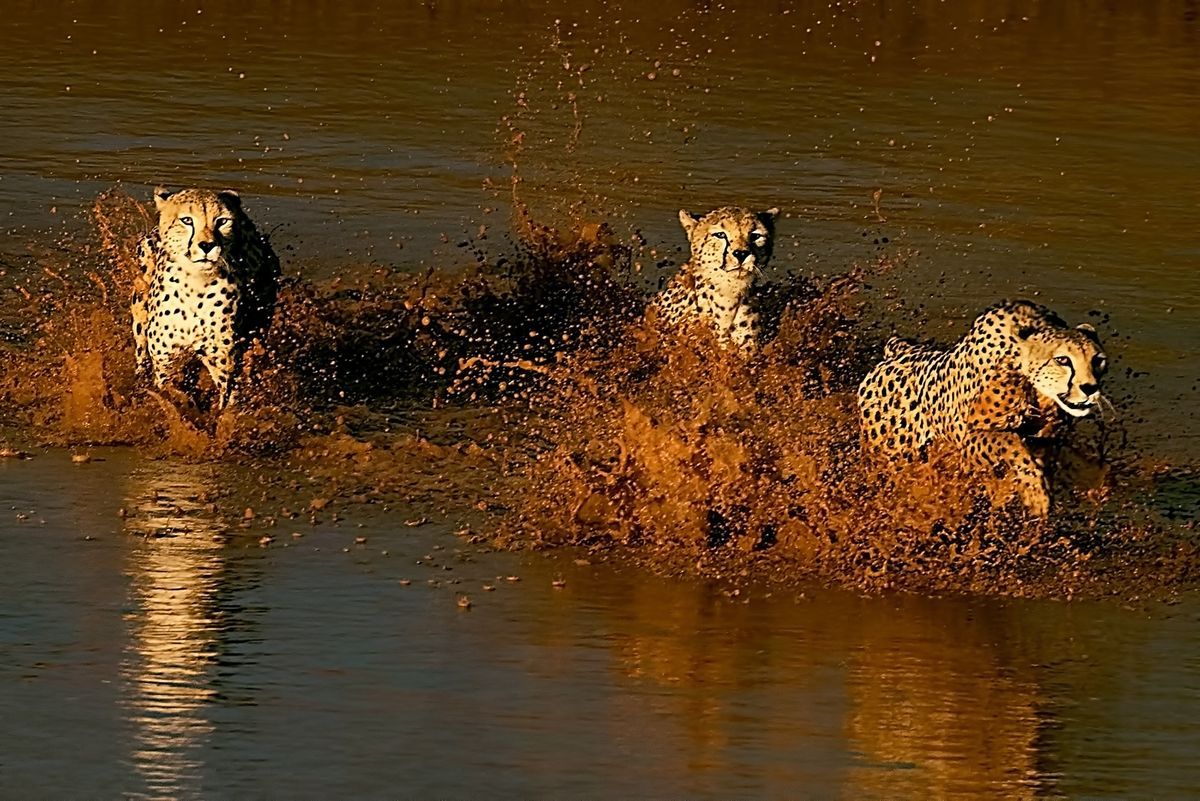 Cheetahs river crossing