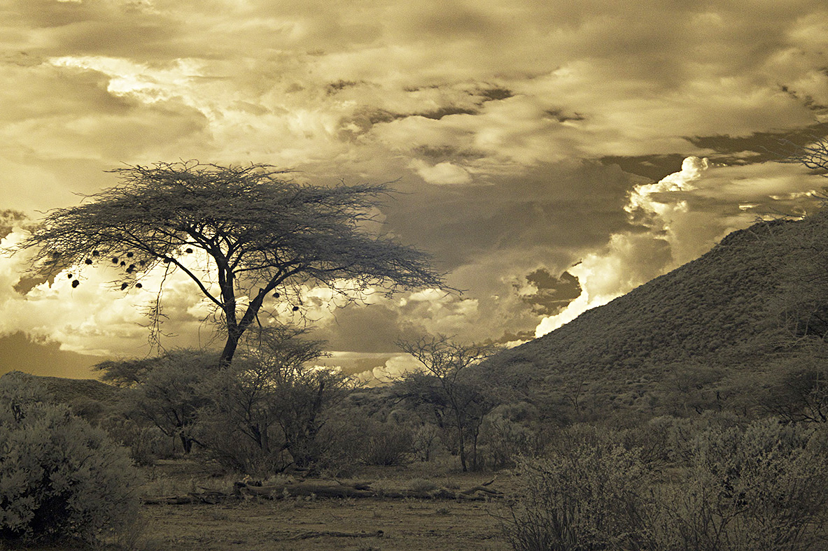 Tree in Amboseli.jpg