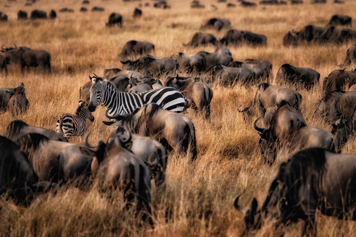 Zebra amongst the Wildebeest