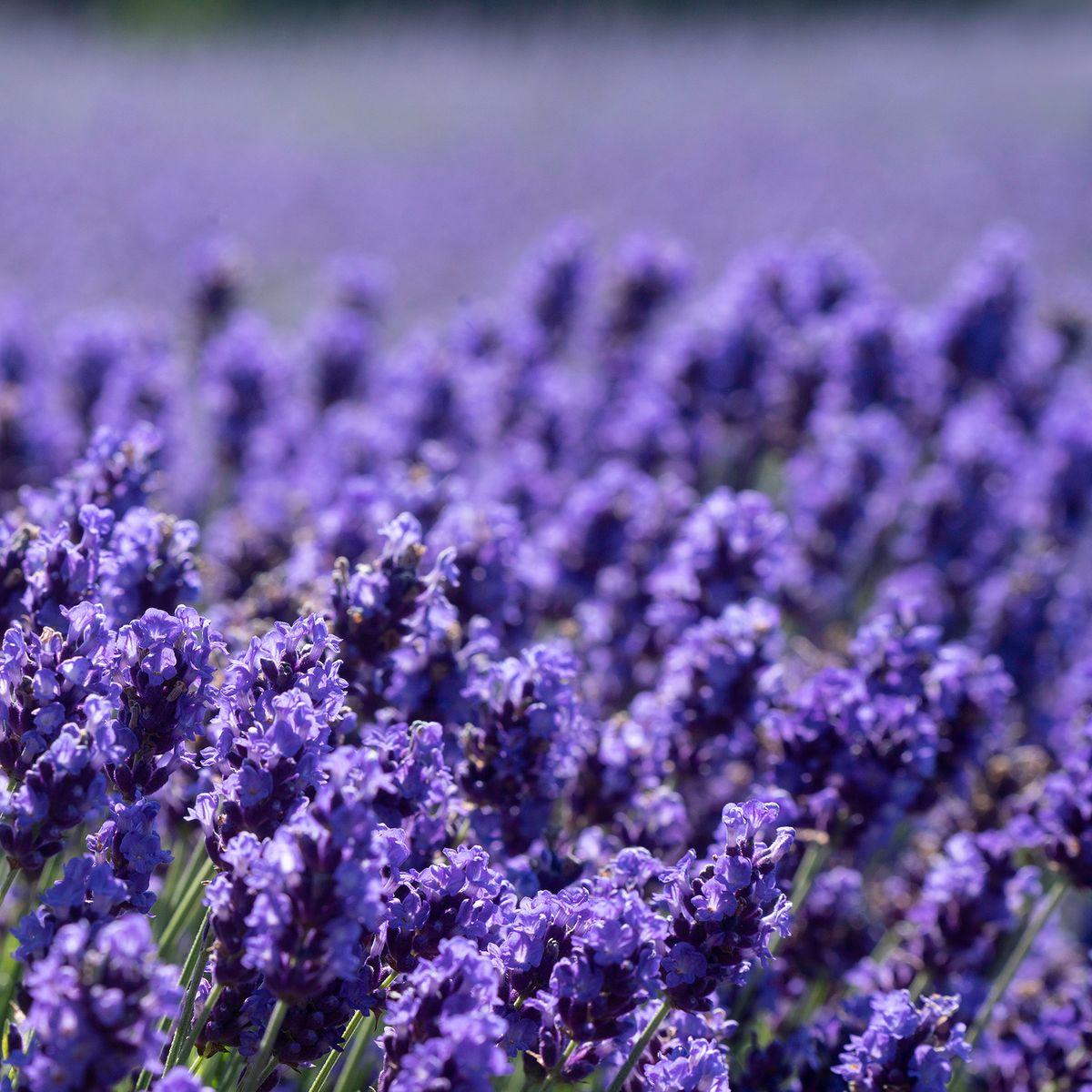 Lavender Bite