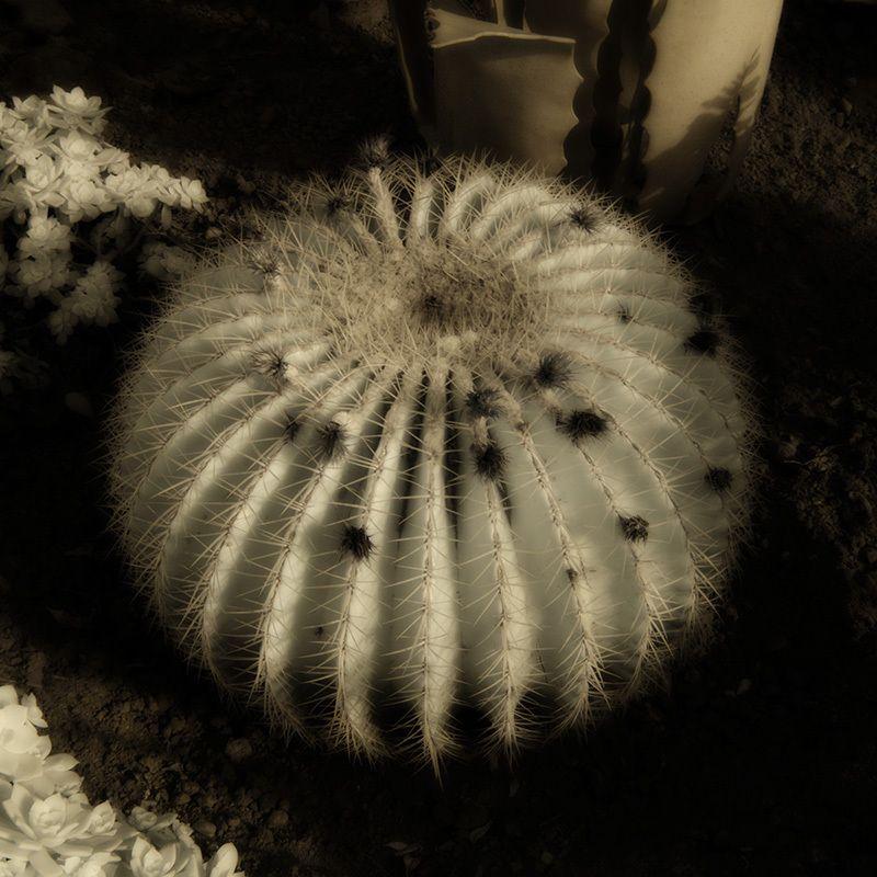 porcupine plant
