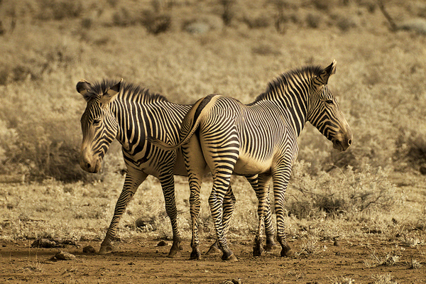 Zebras hanging out