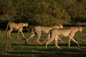 Cheetahs walking togerher