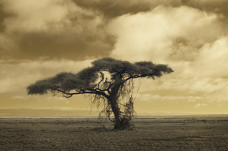 Tree Amboseli 2.jpg