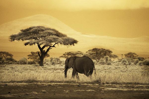 Elephant cruising
