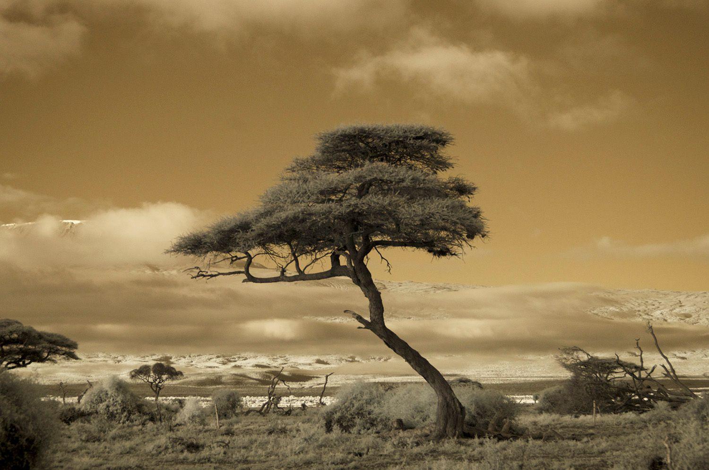 Tree Amboseli 1.jpg