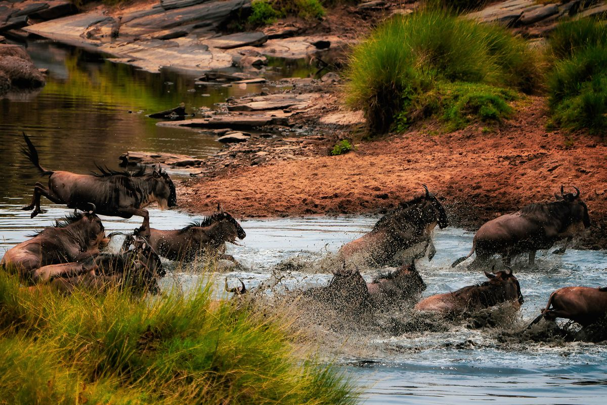 Leaping Wildebeests