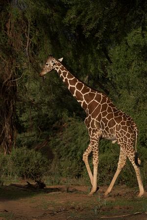 Giraffe green bkgrd.jpg