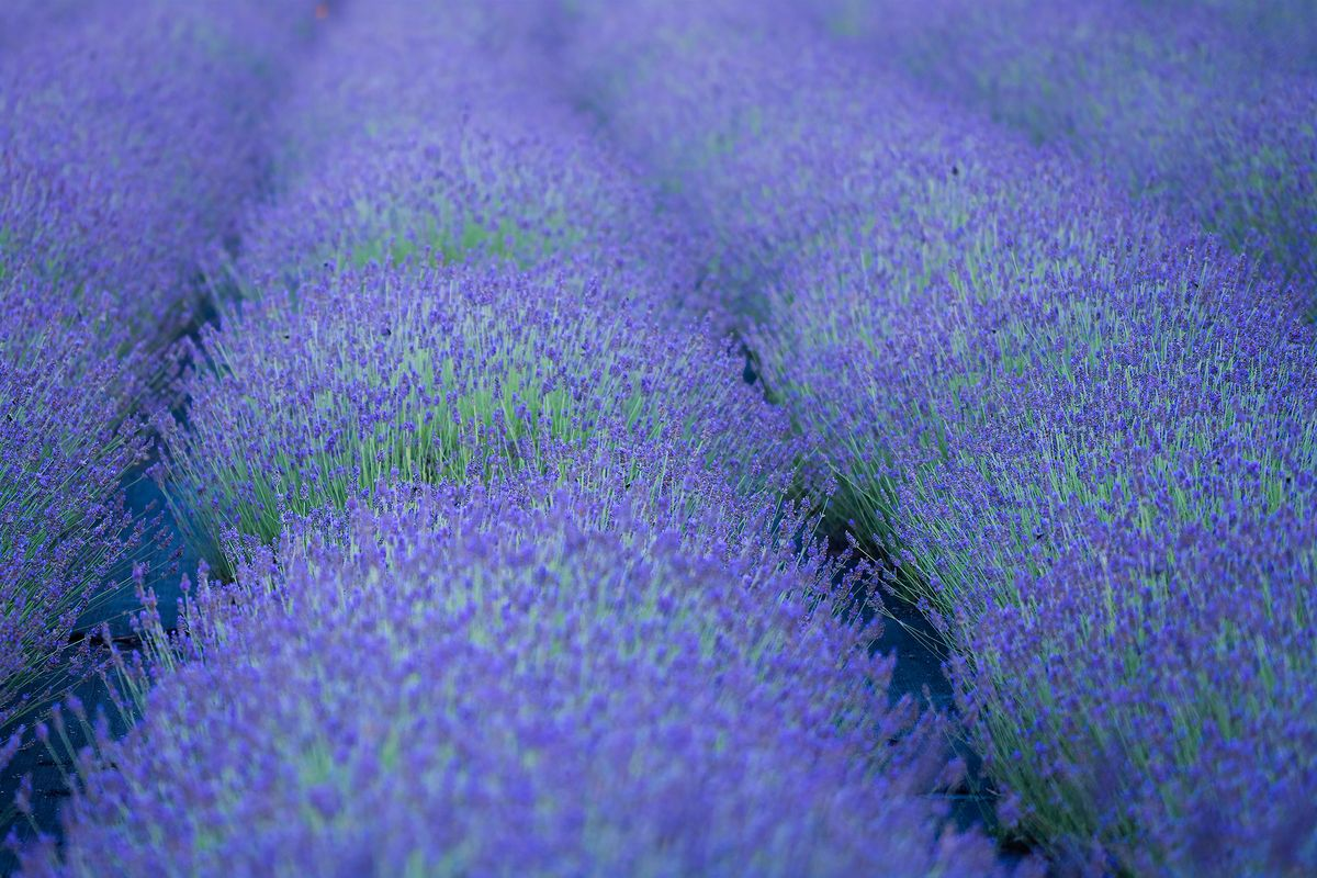 Lavender bushes.jpg