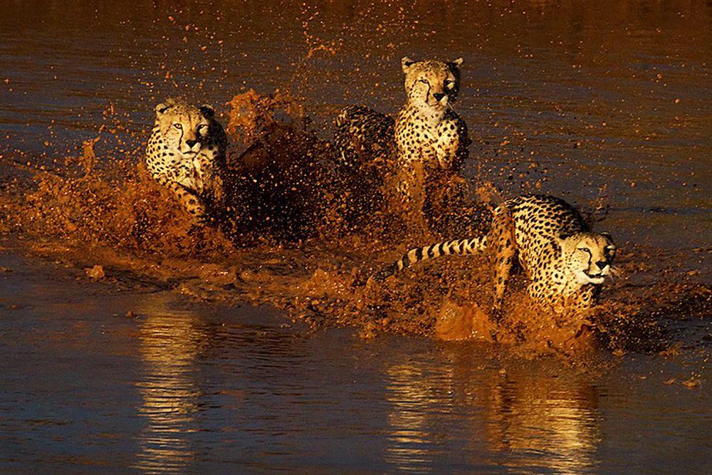 Cheetahs crossing the river