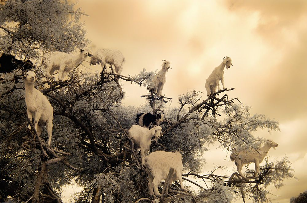 Goats in the Argan tree