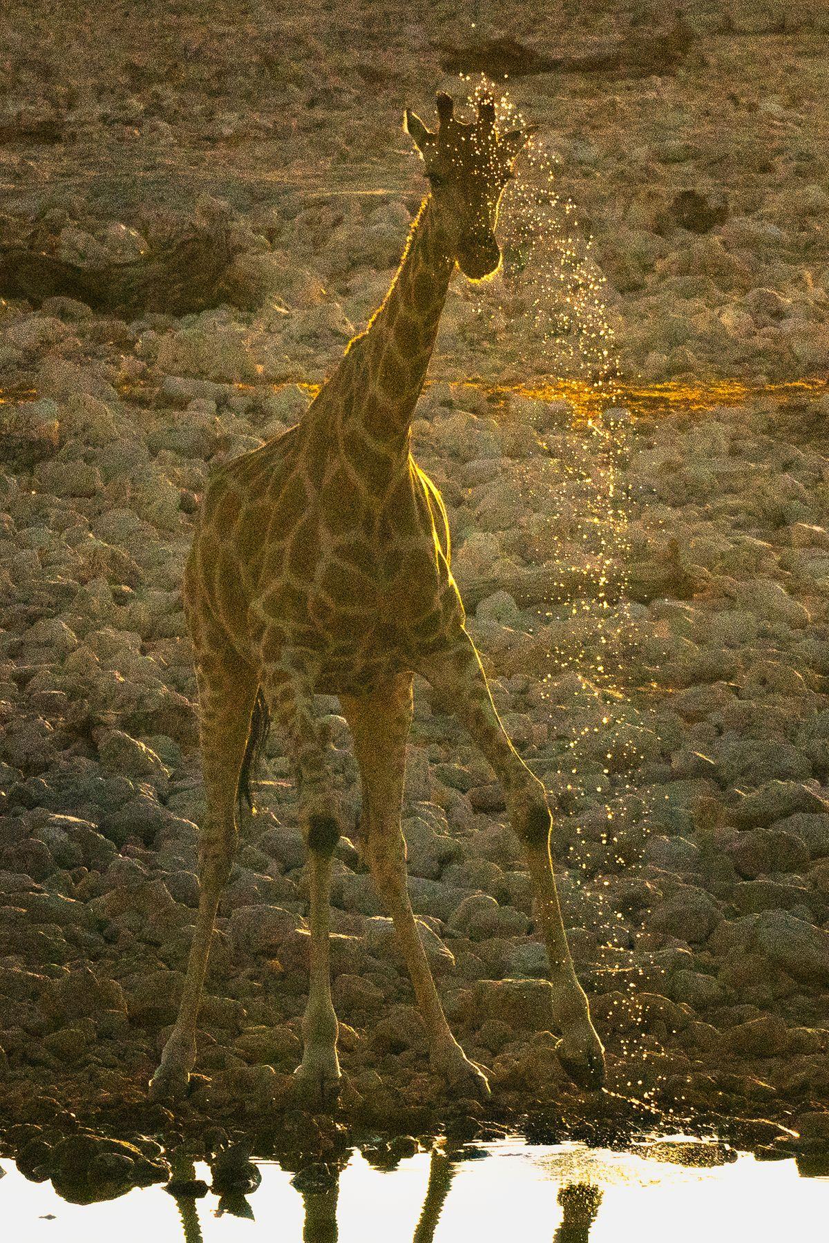 Giraffe Getting Wet