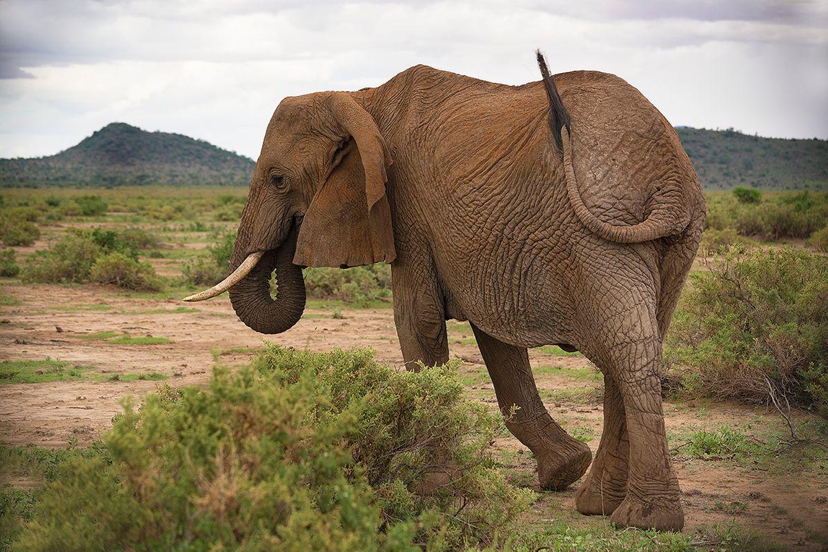 Elelephant strut