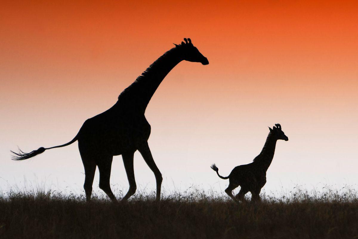 Giraffes in silhouette