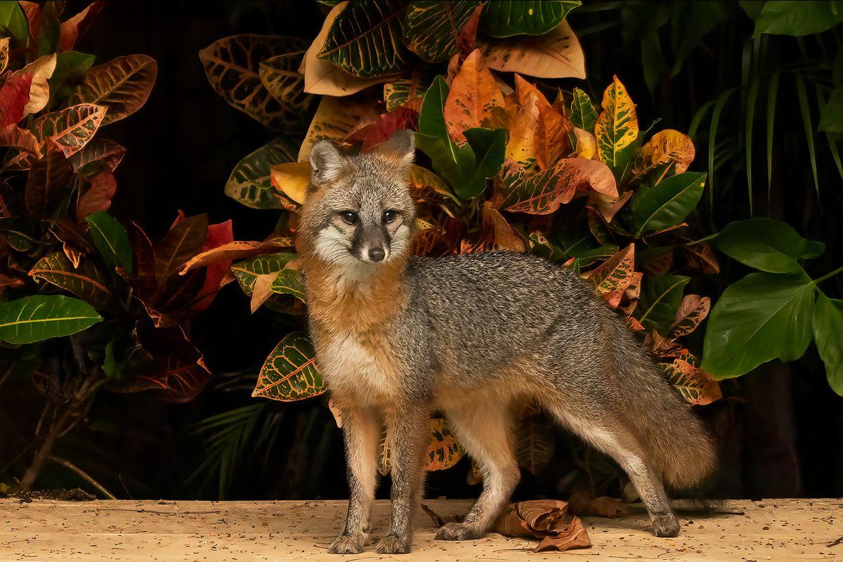 Spendid Fox