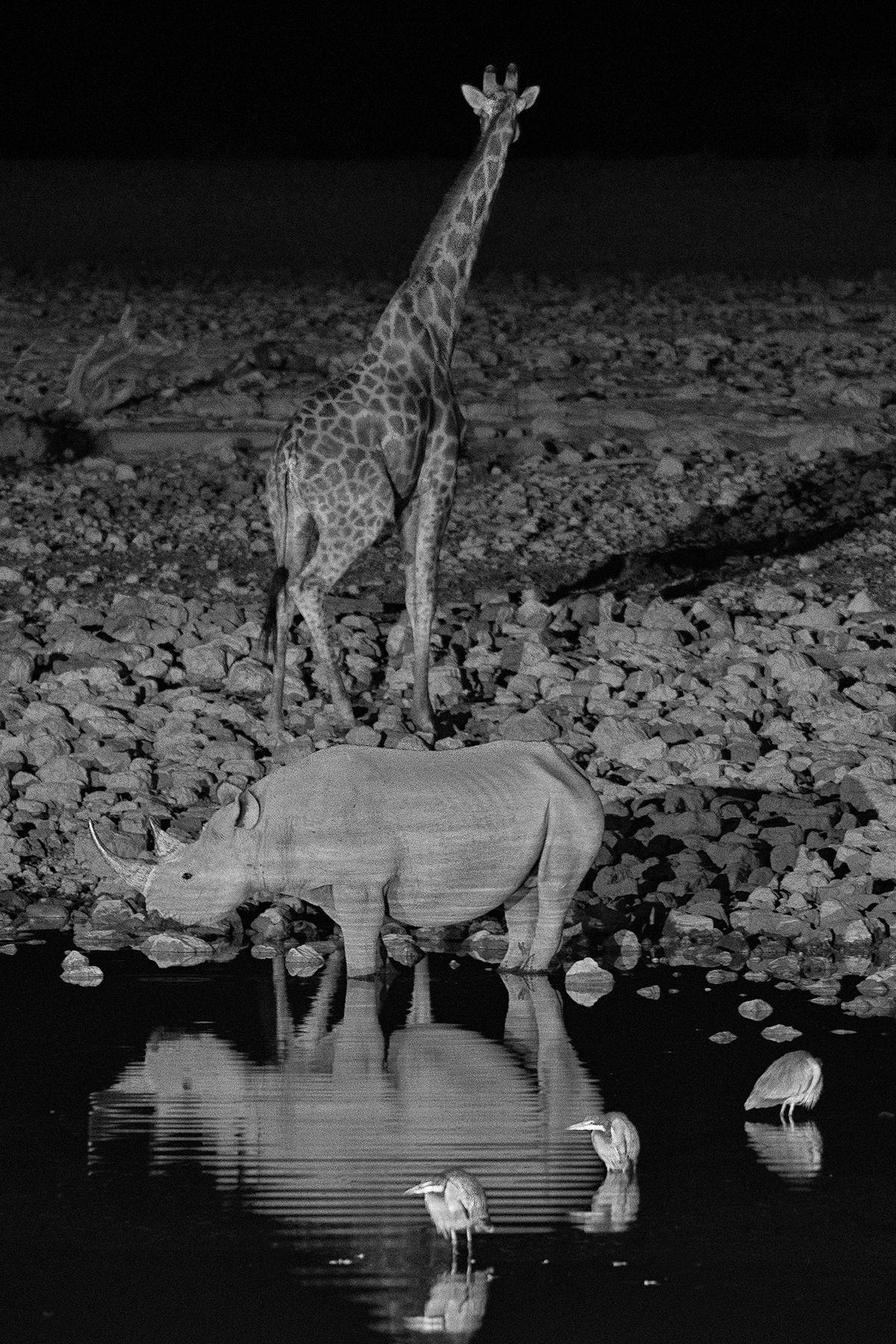 Rhino and Giraffe