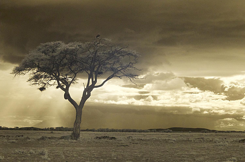 Tree Amboseli 5.jpg