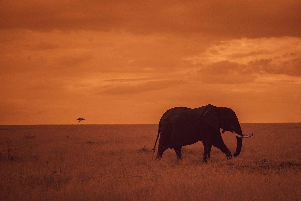 Solo elephant at sunset