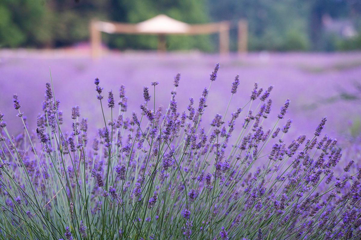 Lavender with tent