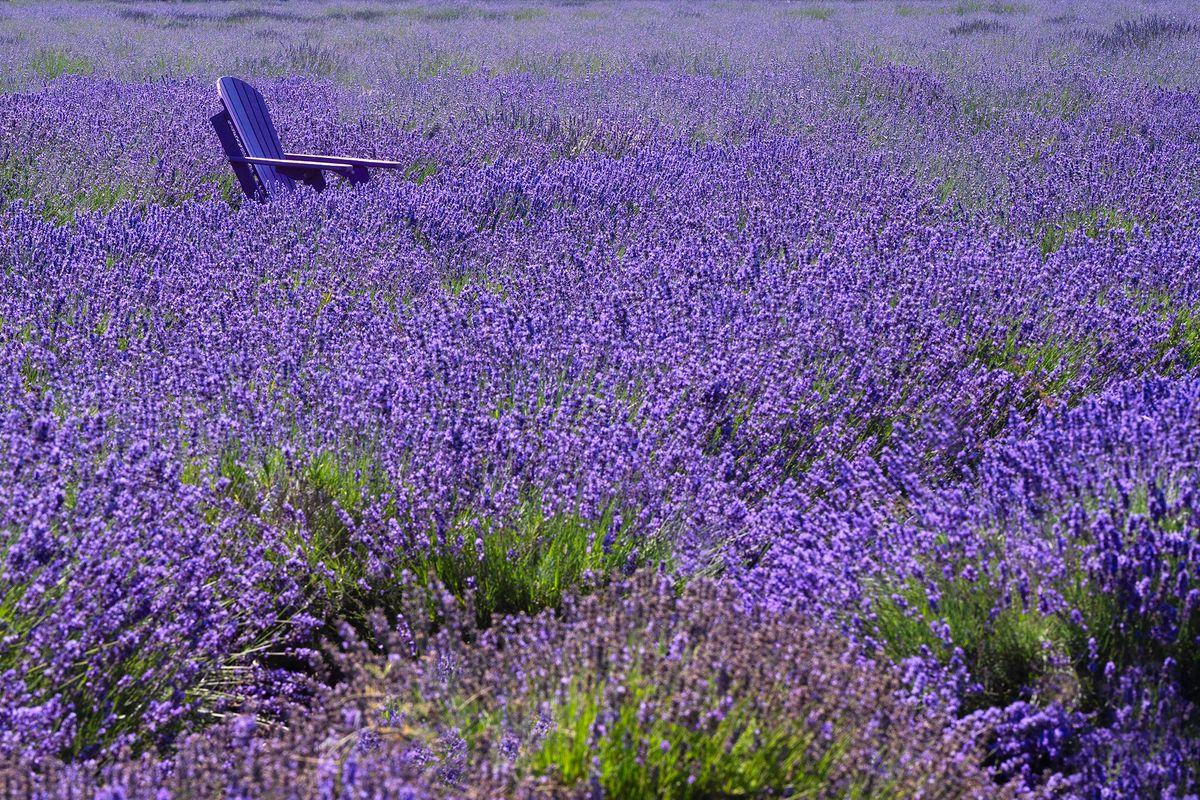 Lavender side chair