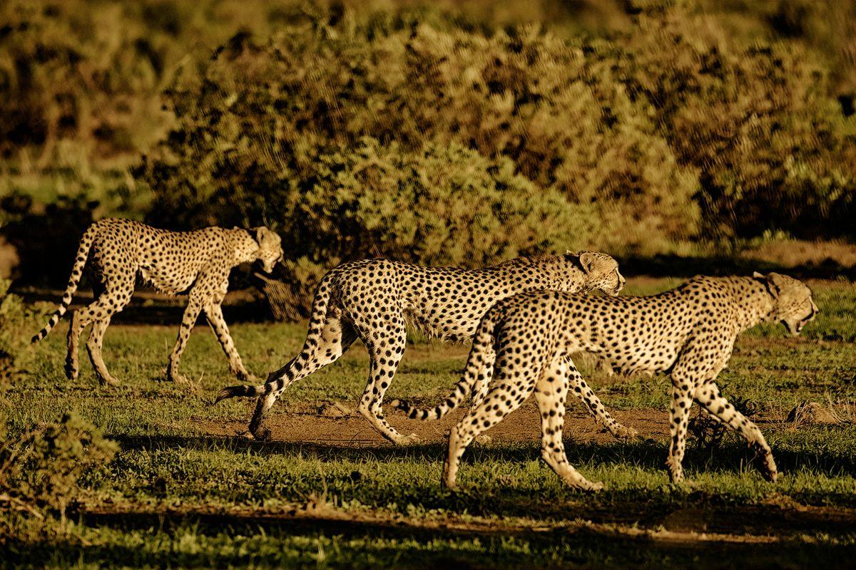 Cheetahs Walking