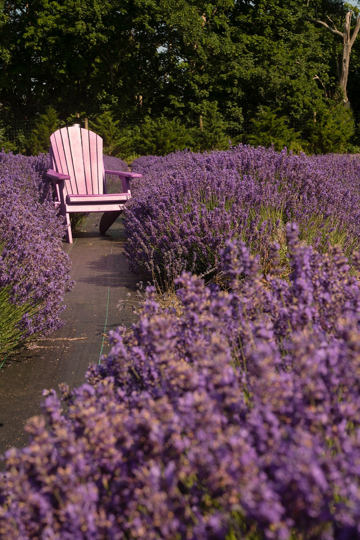 Lavender with Trees