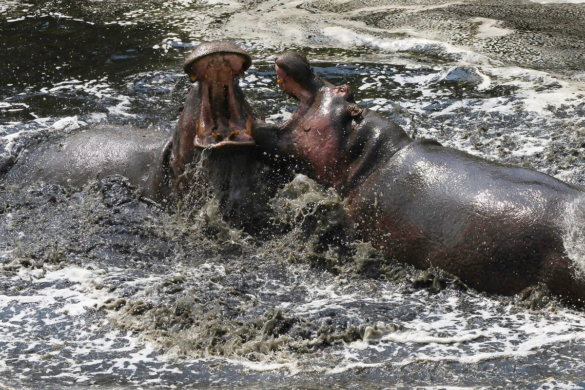 Hippo Wrestling Match