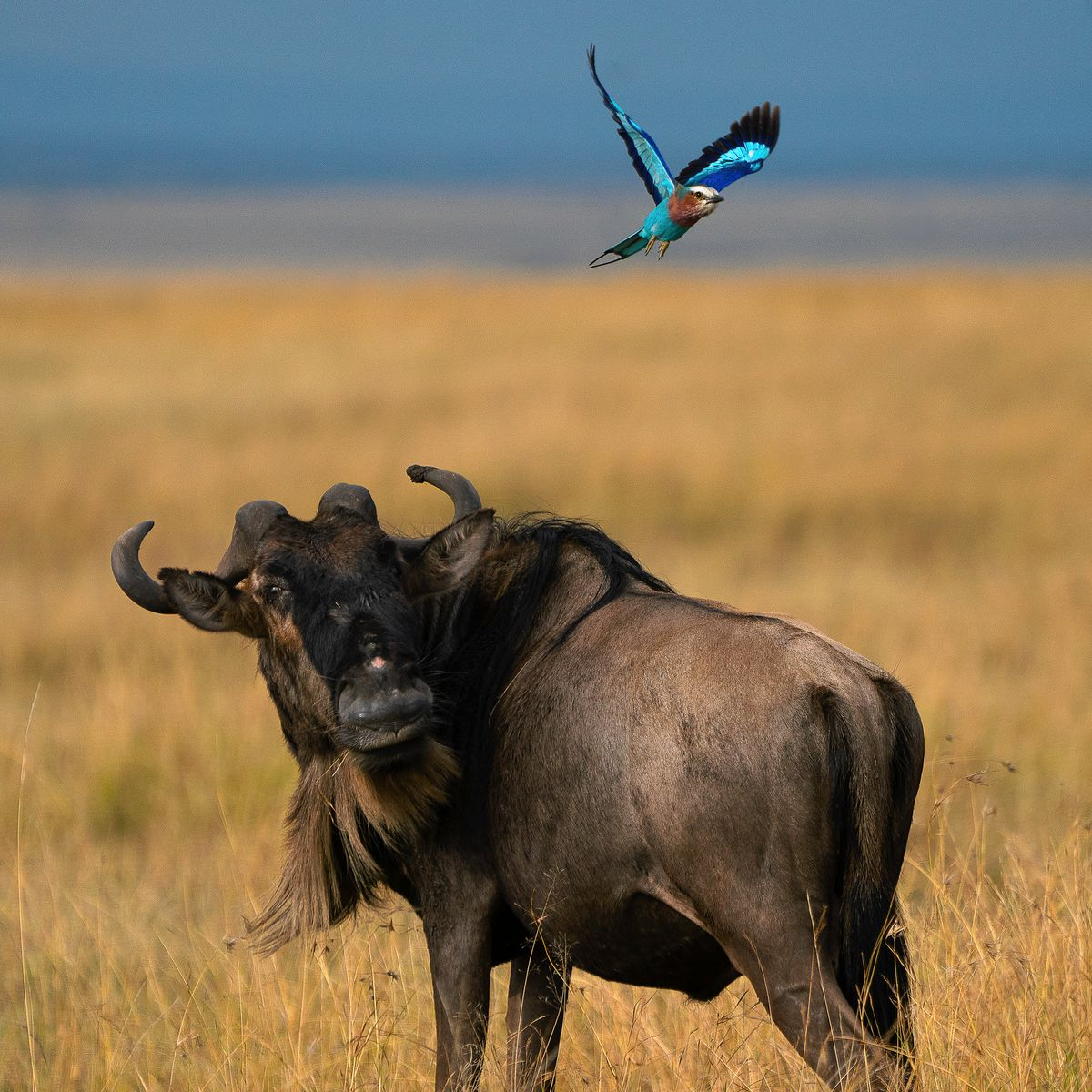 wildebeest and bird