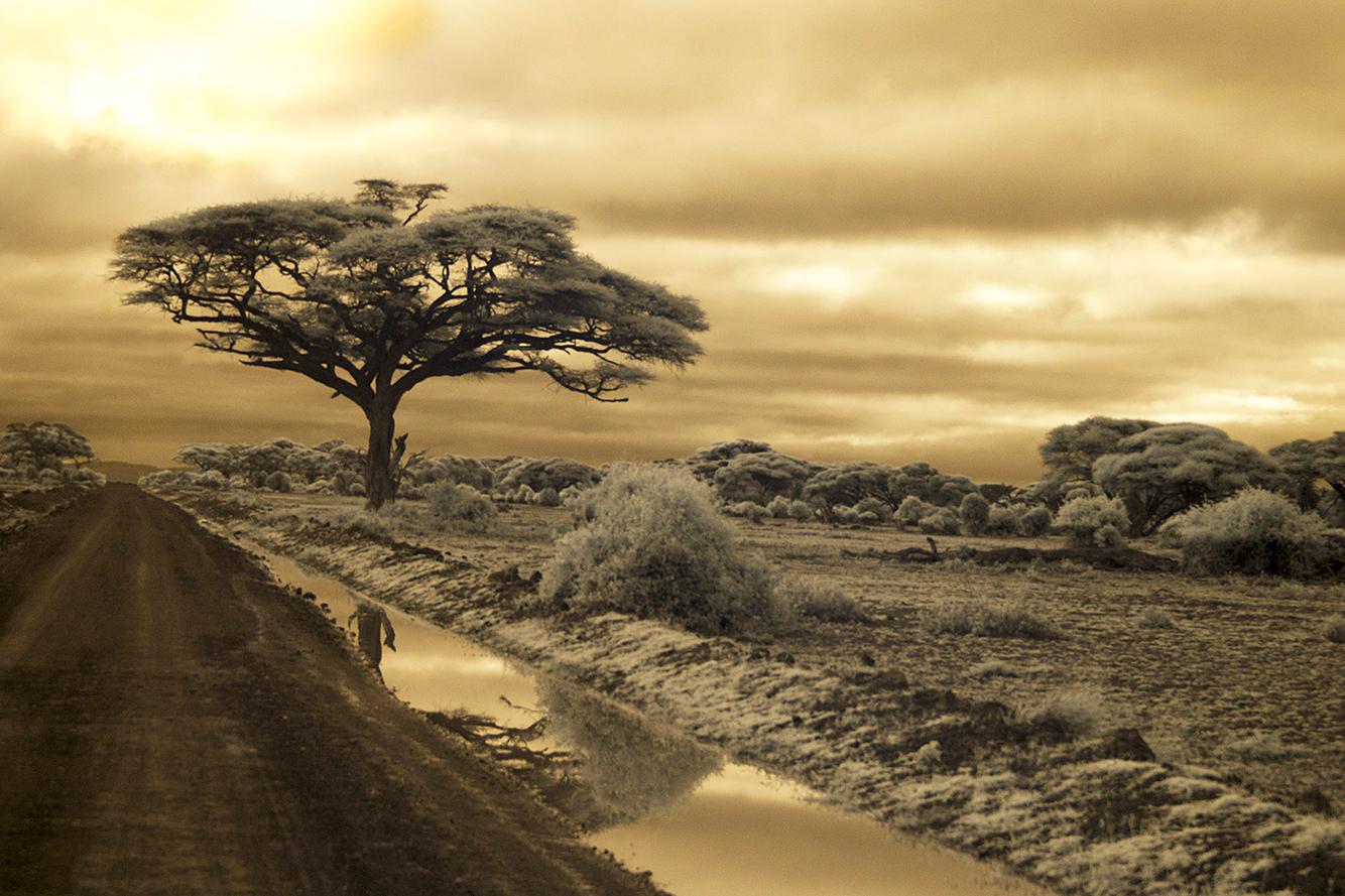 Tree Amboseli 3.jpg