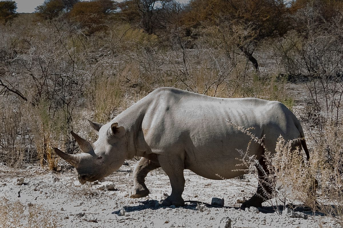 Rhino out Walking