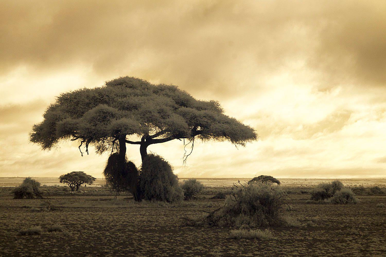 Tree Amboseli