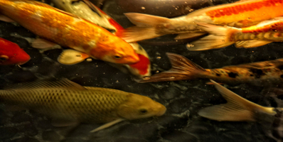 Swimming fish in a pond