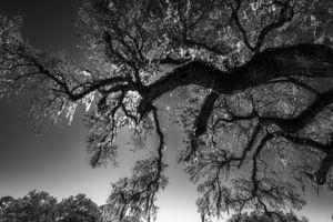 B&W spanish moss on tree inSC.