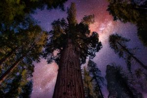 Sequoia giant tree at night