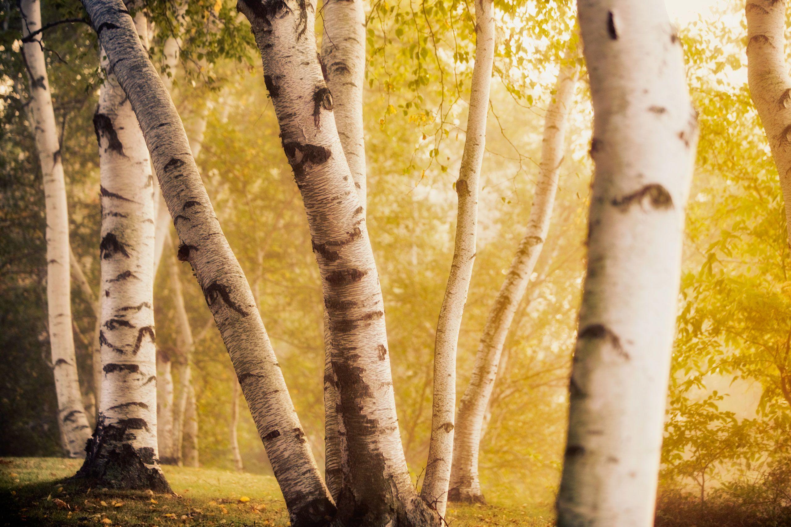 Tully_Birch_trees_copy-Edit.jpg