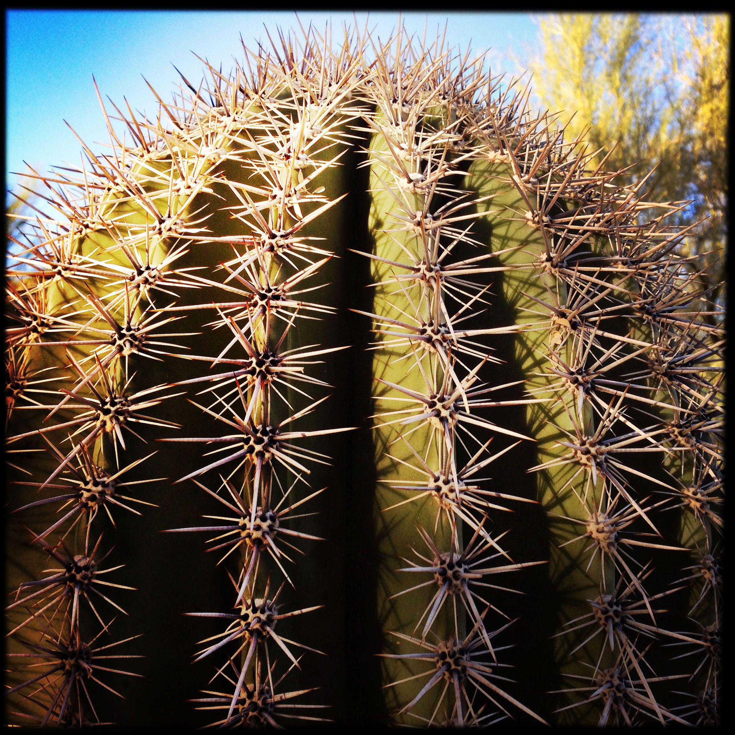 Saguaro cactus detail Scottsdale Arizona