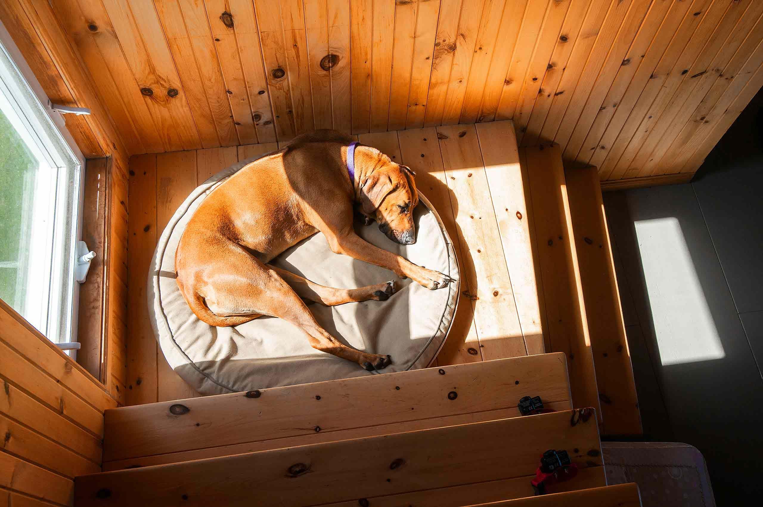 Sleeping ridgeback dog on stairs in les iles de madeleine quebec sunlight