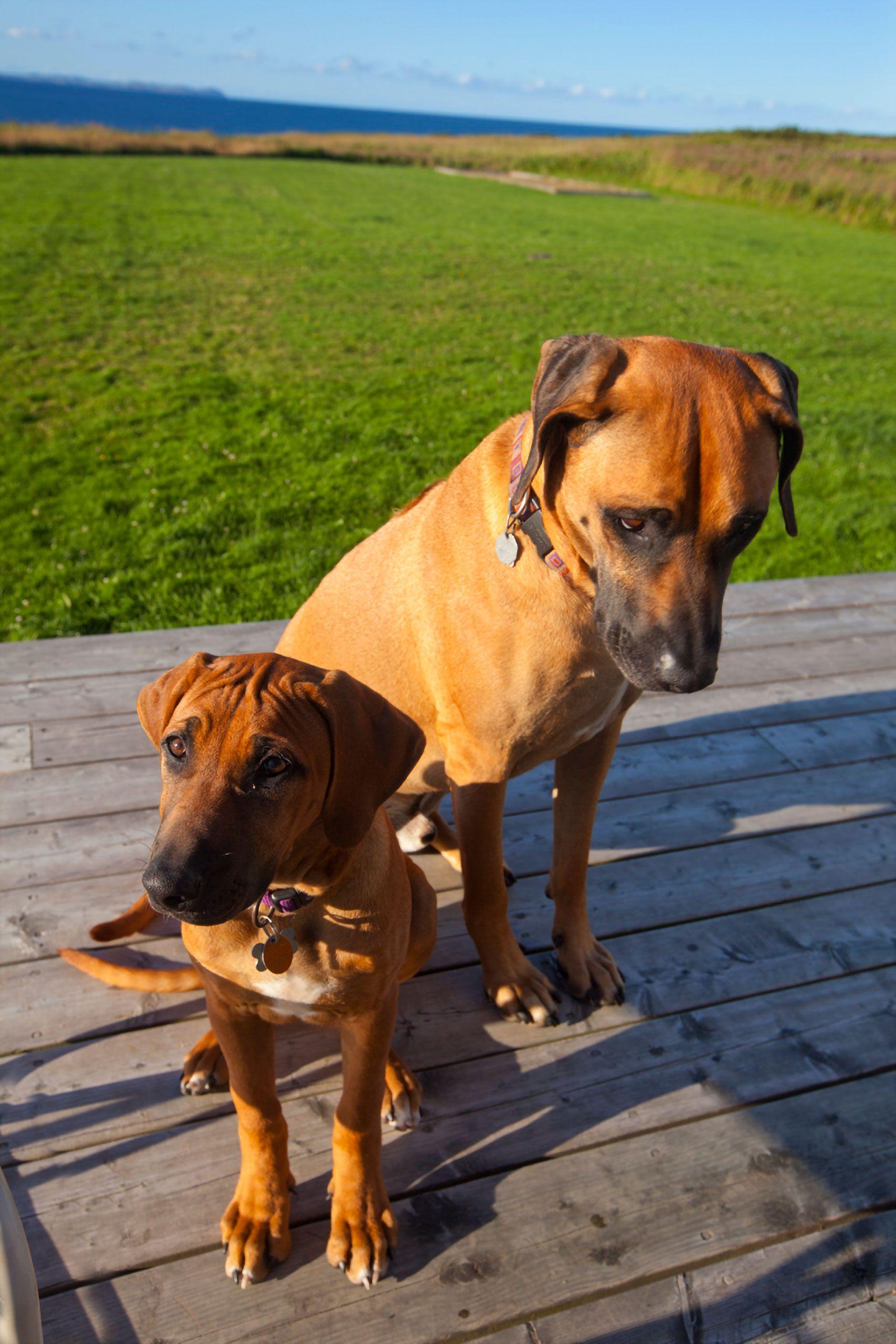 Rhodesian Ridgeback puppy and dog Magdalen Islands Îles de la Madeleine Harve Aubert Quebec Canada
