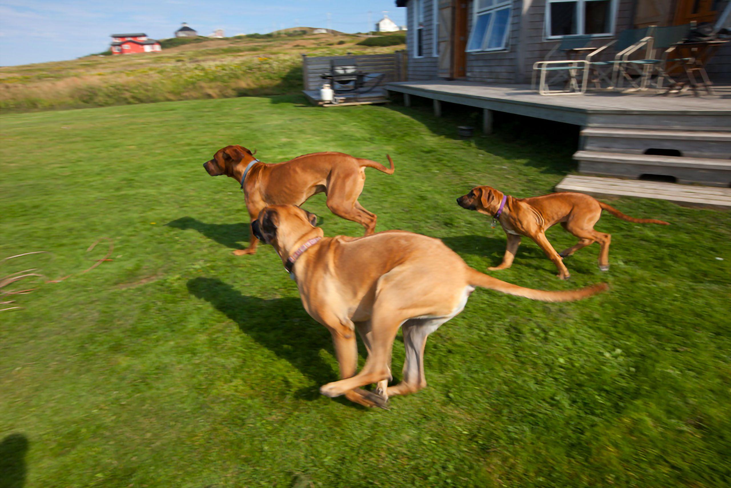 Rhodesian Ridgeback puppy and dogs Magdalen Islands Îles de la Madeleine Harve Aubert Quebec Canada