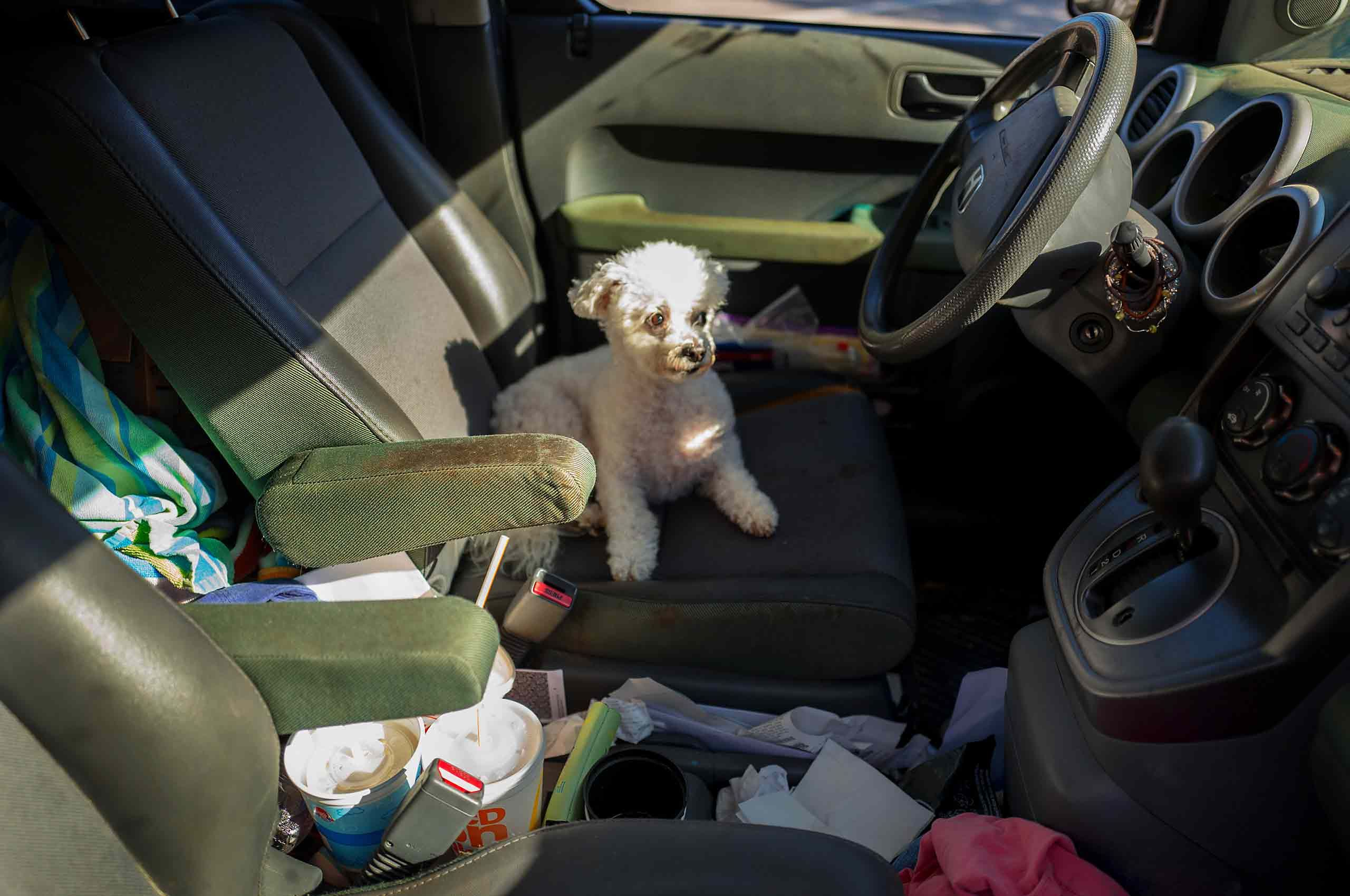 toy poodle in messy car