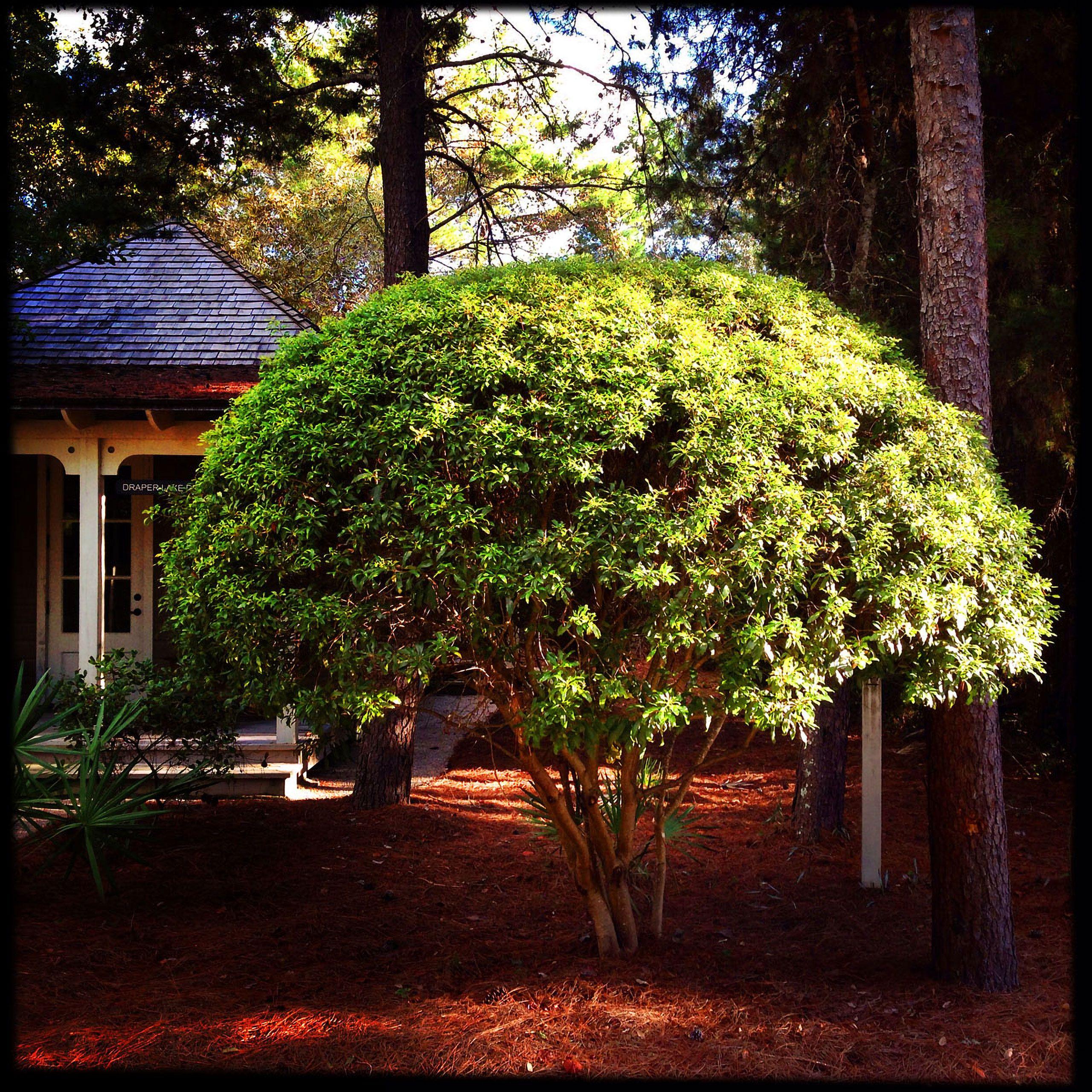 sculpted tree Santa Rosa Beach Florida